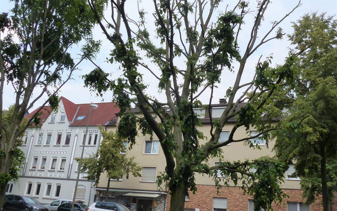 Stadtverwaltung soll Baumfrevel in Brambauer prüfen